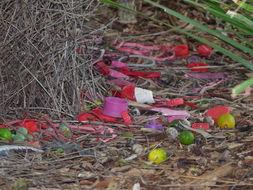 Image of Great bowerbird