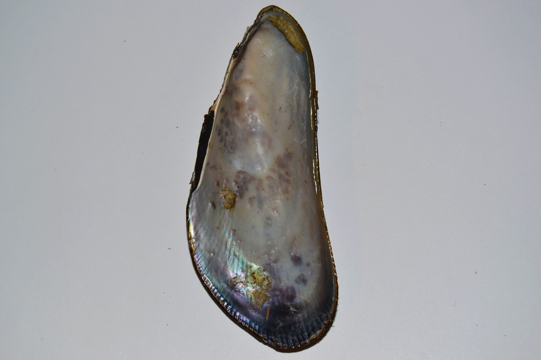 Image of ribbed mussel