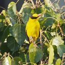 Image of Black-naped oriole