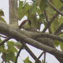 Image of Black-and-white Shrike-flycatcher