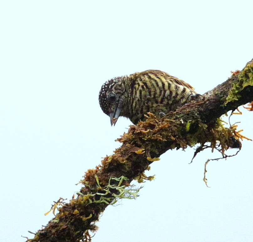 Image of Lafresnaye's Piculet