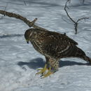 Image of Northern Goshawk