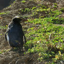Image of Fiordland Crested Penguin