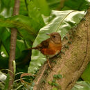 Image of Brown-headed Thrush