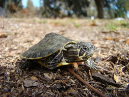 Image of Suwannee cooter