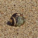 Image of Semi-terrestrial Hermit Crab