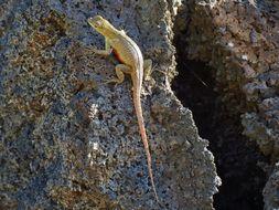 Image of San Cristobal Lava Lizard