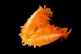 Image of <i>Limaria fragilis</i>