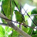 Image of Barred Parakeet