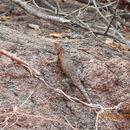 Image of Hunsaker's Spiny Lizard