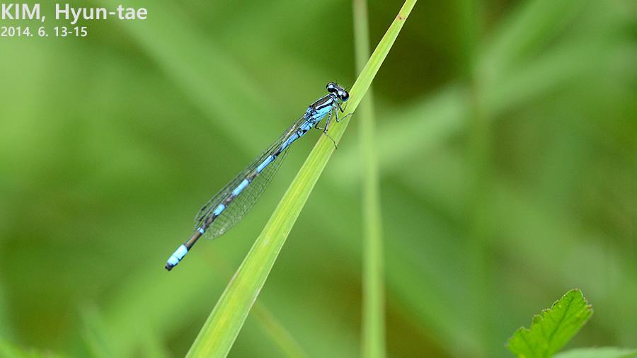 Image of Siberian Bluet