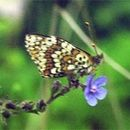 Image of Glanville fritillary