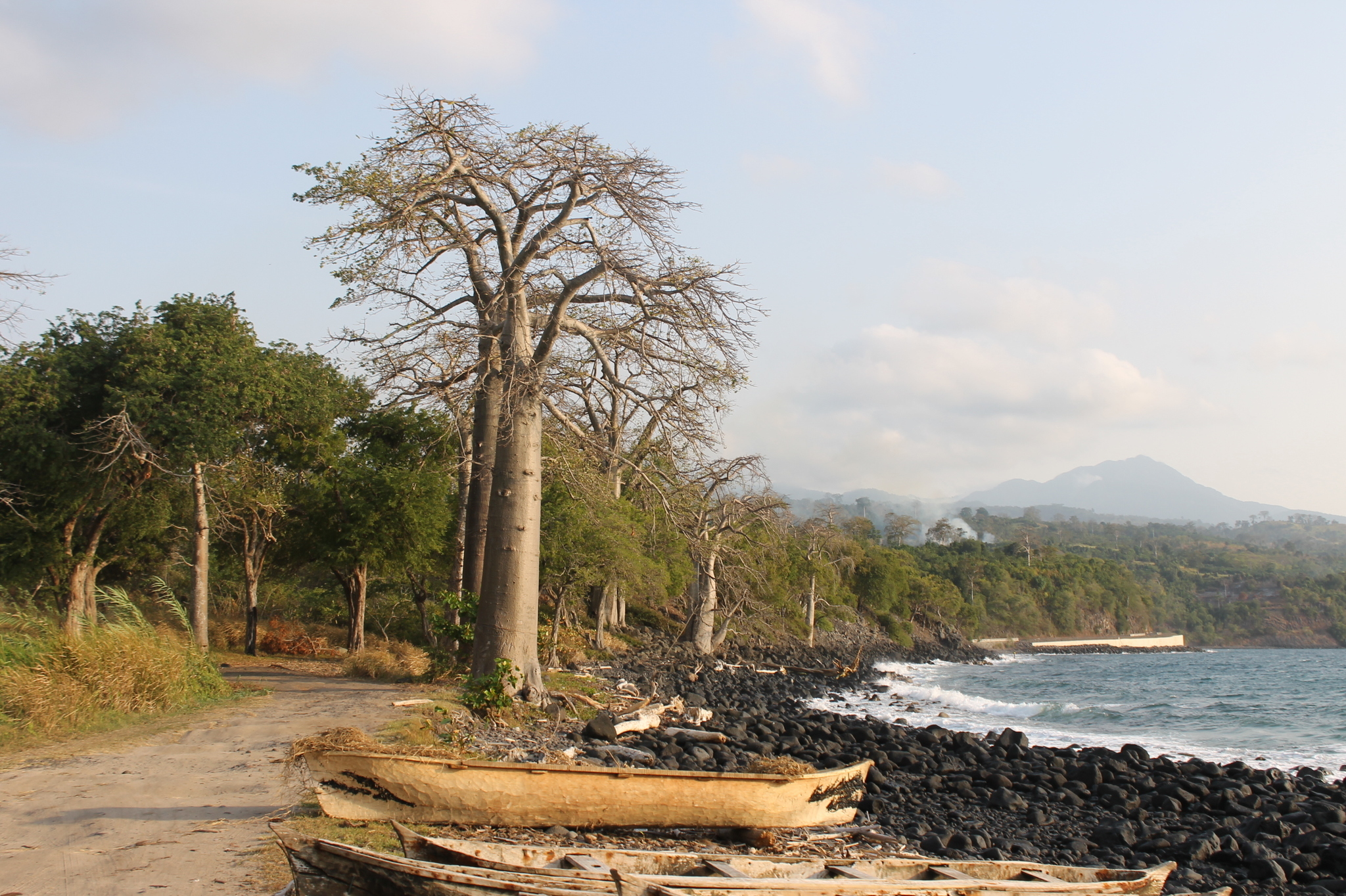 Image of <i>Adansonia digitata</i>