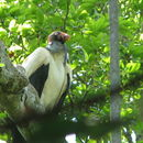 Image of King vulture