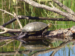 Image of European Pond Turtle