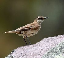 Image of Chestnut-winged Cinclodes