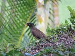 Image of Jungle Myna