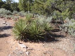 Image of <i>Yucca baccata</i>