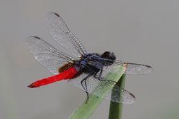 Image of <i>Planiplax sanguiniventris</i> (Calvert 1907)