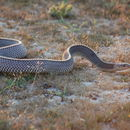 Image of Cape File Snake