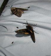 Image of Carpenterworm Moth