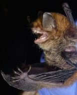 Image of Malagasy Mouse-eared Bat