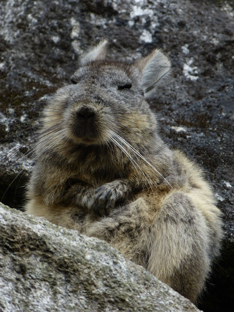 Image of Northern Mountain Viscacha