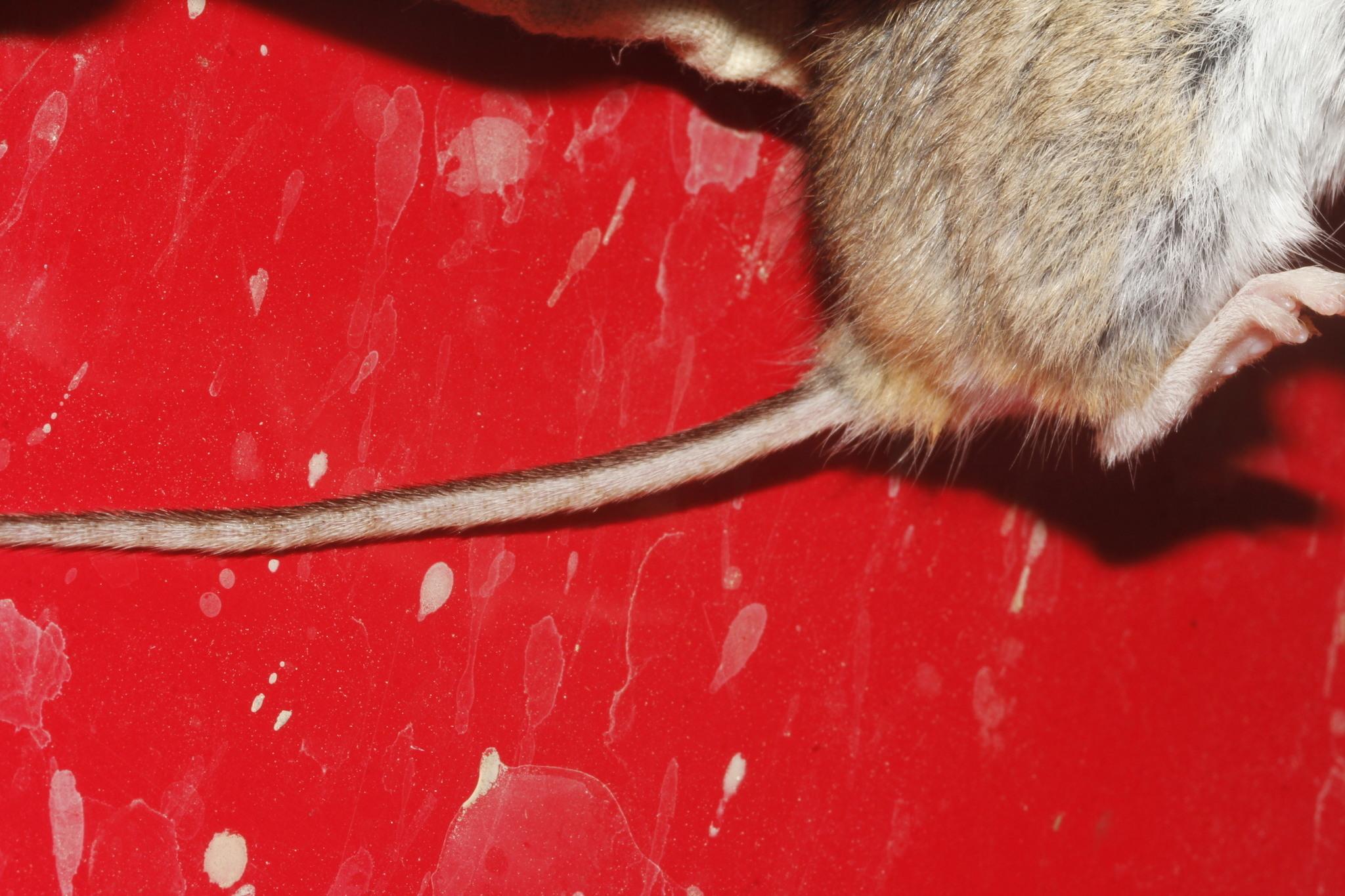 Image of <i>Peromyscus maniculatus</i> ssp. <i>blandus</i>