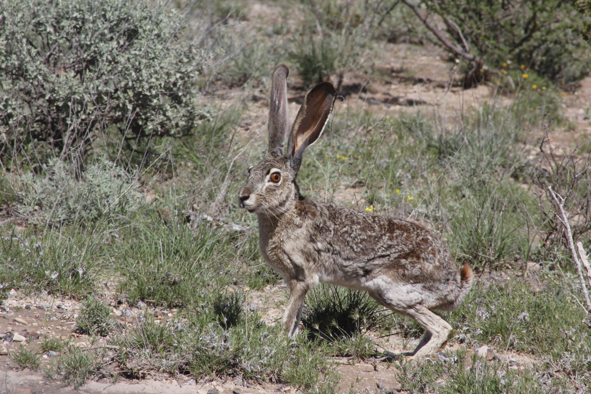 Image of <i>Lepus californicus asellus</i> Miller 1899