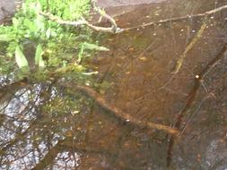 Image of Sierra newt