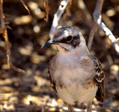 Image of San Cristobal Mockingbird