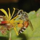 Image of Asian dwarf honey bee