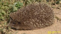 Image of Amur Hedgehog