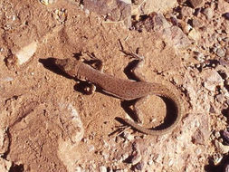 Image of Small-spotted lizard
