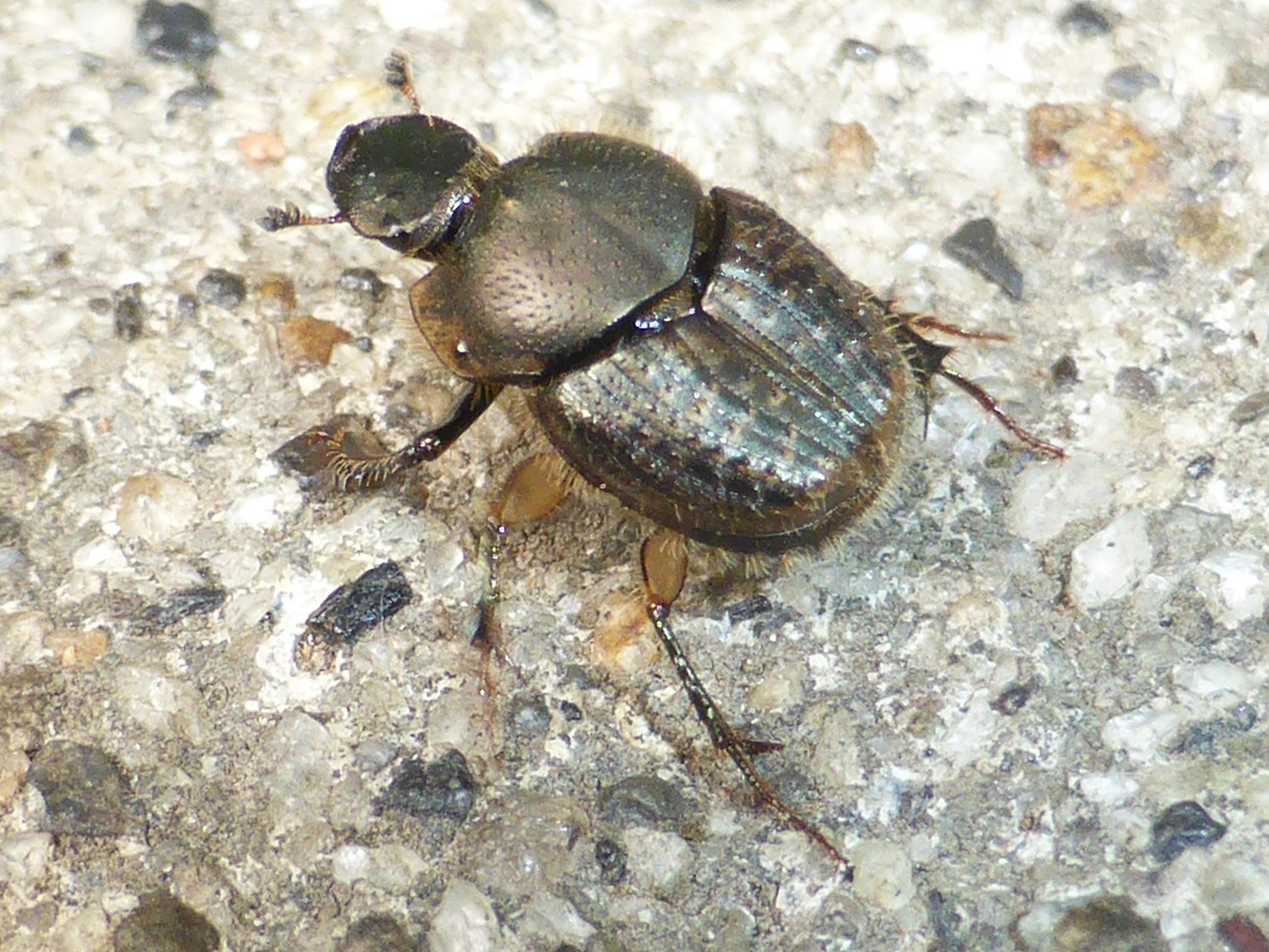 Image of <i>Onthophagus granulatus</i> Boheman 1858