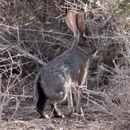 Image of Black-tailed Jackrabbit