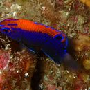 Image of Galapagos ringtail damselfish