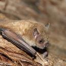 Image of highland yellow-shouldered bat