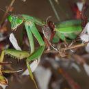 Image of Chinese mantis