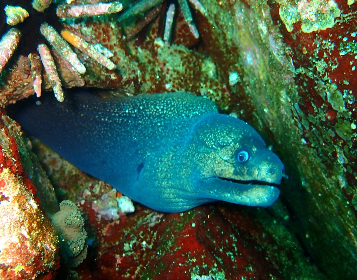 Image of Finespotted moray