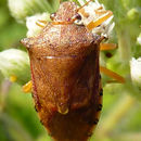 Image of Spined Soldier Bug