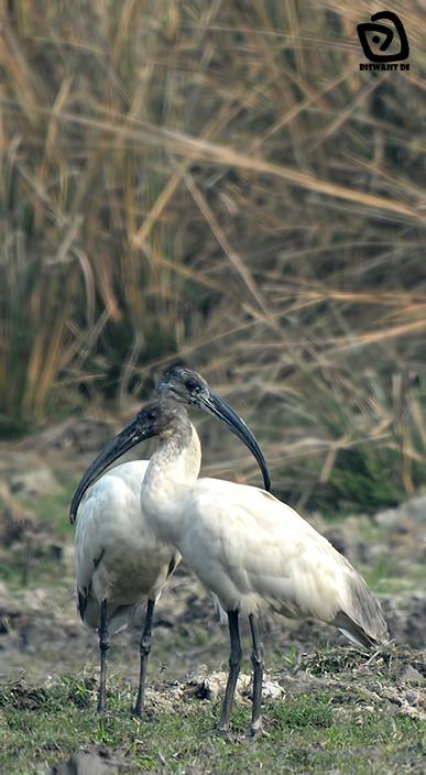 Image of Black-headed Ibis