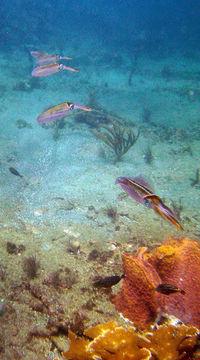 Image of Caribbean reef squid