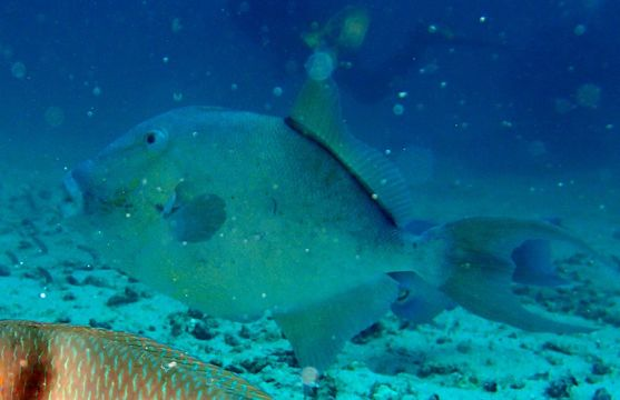 Image of Finescale Triggerfish