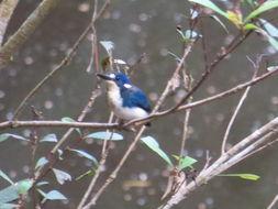 Image of Little Kingfisher