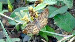 Image of <i>Timochares <i>trifasciata</i></i> ssp. trifasciata
