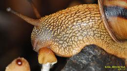 Image of <i>Nesiohelix samarangae</i>