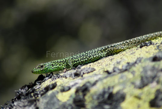Image of <i>Iberolacerta <i>monticola</i></i> monticola (Boulenger 1905)