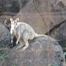 Image of Mareeba Rock Wallaby