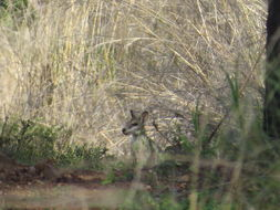 Image of Agile Wallaby